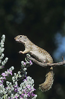 Mexican Ground Squirrel (Spermophilus mexicanus), adult smelling on Texas Sage (Leucophyllum frutescens), Starr County, Rio Grande Valley, Texas, USA
