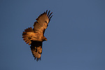 OCT 27: A  hawk soars above Santa Anita Park in Arcadia, California on Oct 27, 2019. Evers/Eclipse Sportswire/Breeders' Cup