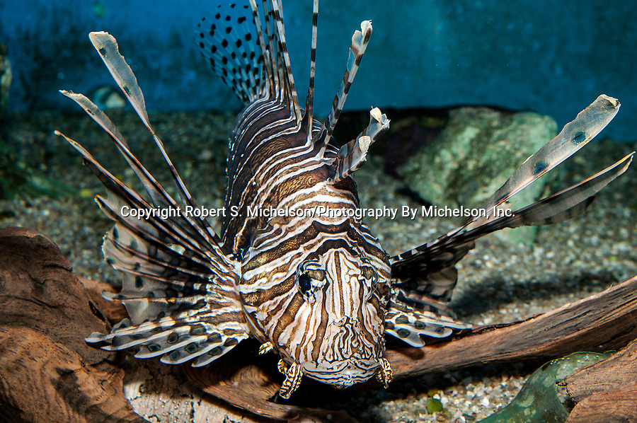Red Lionfish facing camera full body view