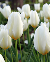 Stock photo: Close up of white tulips beautiful vertical image.
