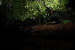 Long-nosed Mongoose (Herpestes naso) crossing log bridge over river in tropical rainforest, Lope National Park, Gabon