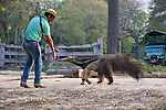 Adult Giant Anteater (Myrmecophaga tridactyla) with Pantaneiro Cowboy. Northern Pantanal, Moto Grosso State, Brazil.