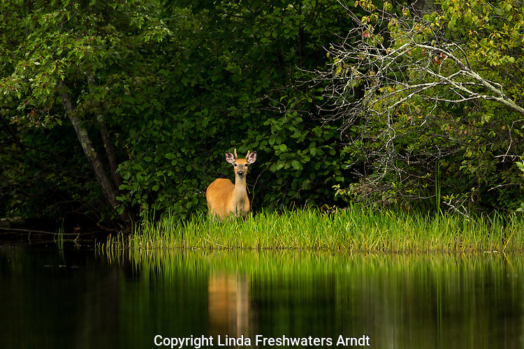 White-tailed buck on the East Fork of the Chippewa River