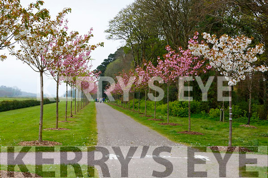 The Cherry trees maintaining social distancing in the grounds of Killarney House