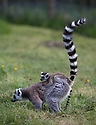 """16/05/16<br /> <br /> """"Surely mum doesn't want me to climb up that!?""""<br /> <br /> Three baby ring-tail lemurs began climbing lessons for the first time today. The four-week-old babies, born days apart from one another, were reluctant to leave their mothers' backs to start with but after encouragement from their doting parents they were soon scaling rocks and trees in their enclosure. One of the youngsters even swung from a branch one-handed, at Peak Wildlife Park in the Staffordshire Peak District. The lesson was brief and the adorable babies soon returned to their mums for snacks and cuddles in the sunshine.<br /> All Rights Reserved F Stop Press Ltd +44 (0)1335 418365"""