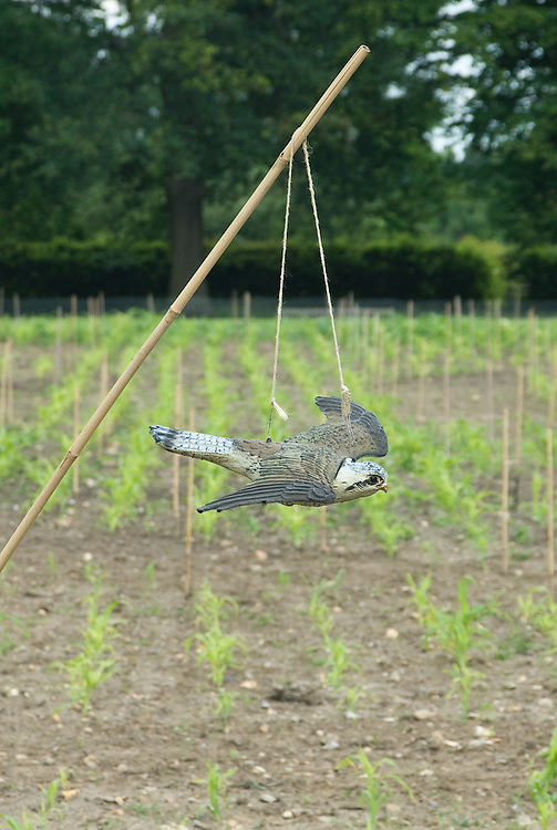 A fake sparrowhawk used to scare birds from a field of young maize.