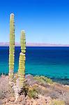 Mexico, Baja California Sur, Bahia Conception, Cardon Cactus (Pachycereus pringlei)