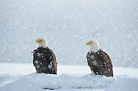 Bald Eagles in snowstorm.