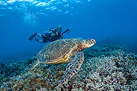 a female scuba diver lines up her camera on a green sea turtle, Chelonia mydas, off the island of Maui, Hawaii, USA, Pacific Ocean, MR