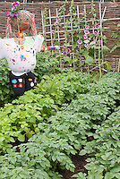Scarecrow + potatoes and Alcea hollyhocks growing in vegetable garden with trellis, fence, plants