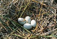 Nachtreiher, Ei, Eier, Gelege im Nest, Nacht-Reiher, Reiher, Nycticorax nycticorax, night heron