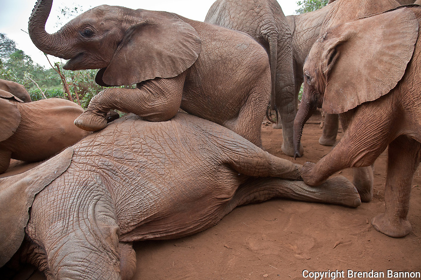 Orphaned baby elephants playing at the David Sheldrick Wildlife Trust in Nairobi National Park. The elephants range in age from  six months to three years.