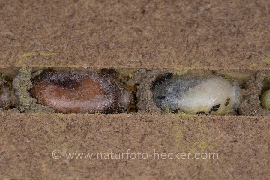 Rote Mauerbiene, Entwicklung, 8. etwa 6 Wochen alte Larven verpuppen sich, Larve, Made, Maden, Puppe, Puppen in Kokon, Puppenkokon in Brutkammer mit Trennwand aus Lehm. Entwicklungsreihe Entwicklungsstadien, Brutröhre, Niströhre im Querschnitt, Brutkammer, Brutkammern, Rostrote Mauerbiene, Mauerbiene, Mauer-Biene, Nest, Neströhre, Niströhren, Wildbienen-Nisthilfe, Wildbienennisthilfe, Osmia bicornis, Osmia rufa, red mason bee, mason bee, L'osmie rousse, Mauerbienen, mason bees