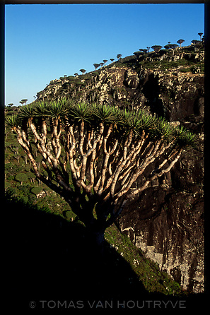 Groves of Dragon's Blood Trees (Dracaena cinnabari) are seen in the Skund mountains on the island of Socotra, Yemen on Wednesday, 25 May 2005.<br />