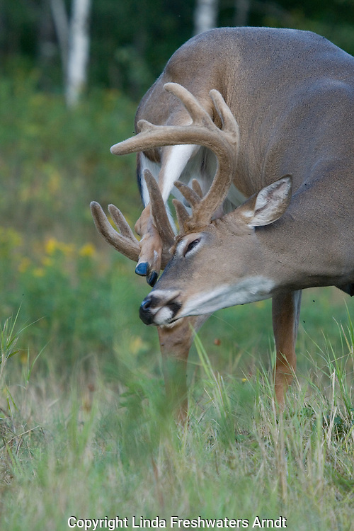 White-tailed buck (Odocoileus virginianus), in velvet, scratching an itch