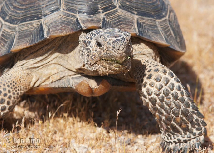 A male desert tortoise, Gopherus agassizi, at the Desert Tortoise Natural Area, Mojave Desert, California. The tortoise is a state- and federally-listed Threatened Species.