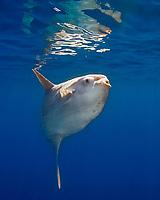 ocean sunfish, Mola mola, San Diego, California, USA, Paficic Ocean