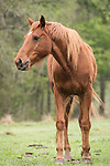 Damon, Texas; a brown horse grazing in a pasture on an overcast morning