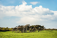 Coastal pasture with wind combed trees near Haast, West Coast, South Westland, UNESCO World Heritage Area, New Zealand, NZ