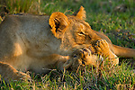 A lion cub plays with its mother while she rests on the Masai Mara plain in Kenya.