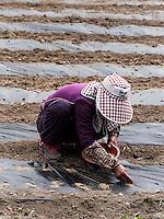 Säen von Gemüse bei Gyeongju, Provinz Gyeongsangbuk-do, Südkorea, Asien<br /> Sowing of vegetables near Gyeongju,  province Gyeongsangbuk-do, South Korea, Asia