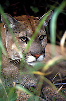 Florida Panther male adult, Felis concolor coryi.