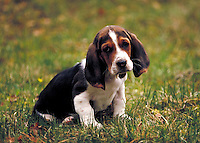 Basset hound sitting in grass