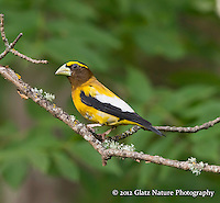 Evening Grosbeak male (Coccothraustes vespertinus) male in search of the resident female, Northern Minnesota.