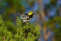 591850044 a wild male golden-cheeked warbler setophaga chrysoparia - was dendroica chrysoparia - an endangered species perches in a pine tree on mike murphy's los ebanos ranch in travis county texas united states