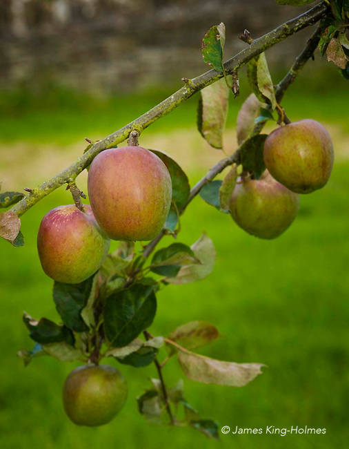 Apples variety Winter Pearmain