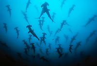Silhouettes of Scalloped Hammerhead Sharks, Sphyrna lewini, schooling, Cocos Island, Costa Rica, Pacific Ocean