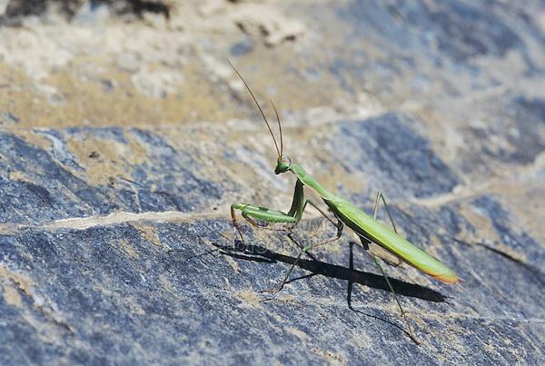 Praying Mantis, Mantis religiosa, adult on rock, Wallis, Switzerland, September 1997