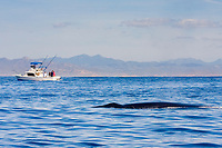 Bryde's whale, Balaenoptera brydei or Balaenoptera edeni, swims past sportfishing boat with striped marlin on swim platform, off Cabo San Lucas, Baja California, Mexico ( Eastern Pacific Ocean )