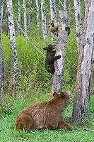 Black Bear cubs play on a snag while mom watches