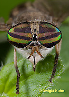 1F05-511z  Striped Horsefly, Female, close-up of face and compound eyes  - Tabanus subsimilis.