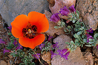 Kennedy's mariposa and Thompson's penstemon<br /> Peach Springs Canyon<br /> Hualapai Indian Reservation<br /> Grand Canyon,  Colorado Plateau,  Arizona
