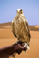 Saker Falcon, bred for hunting,  perches on handler?s glove.  Dubai, United Arab Emirates.  Falco Cherrug. Altai Falcon.