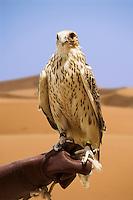 Saker Falcon, bred for hunting,  perches on handler?s glove.  Dubai, United Arab Emirates.  Falco Cherrug. Altai Falcon.