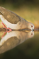 White-tipped Dove (Leptotila verreauxi),adult drinking, Rio Grande Valley, Texas, USA