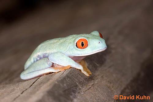 0306-0910  Red-eyed Tree Froglet (Young Frog), Agalychnis callidryas  © David Kuhn/Dwight Kuhn Photography.