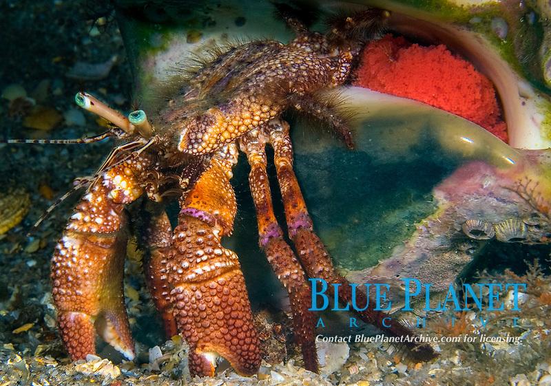 Stareye Hermit Crab (Dardanus venosus) carrying eggs, Riviera Beach, Florida, USA, Atlantic Ocean
