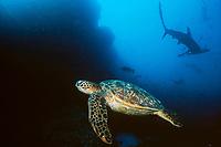 East Pacific green (black) sea turtle, Chelonia mydas agassizi, with scalloped hammerhead shark, Sphyrna lewini, in background, Galapagos Islands, Ecuador, East Pacific Ocean