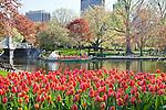 Swan boats and tulips in the BostonPublic Garden, Boston, MA, USA
