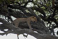 Tanzania Serengeti Nationalpark near Arusha , sleeping leopard / Tansania Serengeti Nationalpark bei Arusha , Leopard