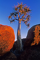 Quiver tree, Kokerboom (Aloe dichotoma), trees at last light, Namibia, Africa