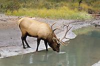 Rocky Mt. Bull Elk drinking. (Cervus Canadensis)