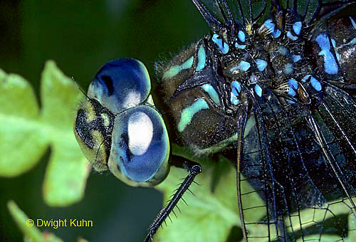 1O06-016z  Darner Dragonflies male close-up of head and compound eyes - Black-tipped Mosaic Darner - Aeshna tuberculifera.