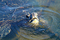 Sea turtle in water with head poking up