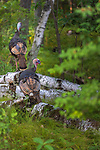 Tom and jake turkey in a northern Wisconsin woodland.