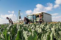 Harvesting cauliflower - Lincolnshire, October